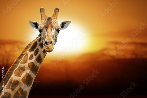 Naklejki żyrafa  giraffe