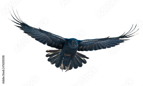 Photo Raven in flight on white