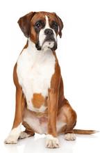 Boxer Dog On White Background