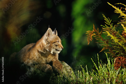 Spoed Foto op Canvas Lynx Eurasian lynx in forest
