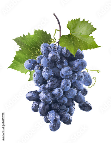 Big wet blue grapes bunch and leaves isolated on white