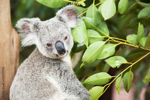 Staande foto Koala An Australian koala outdoors.