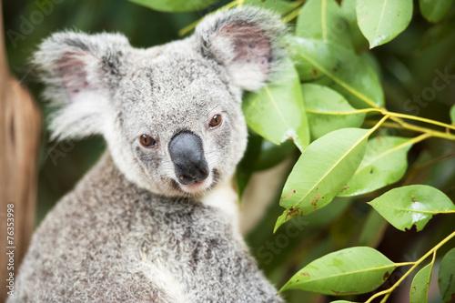 Garden Poster Koala An Australian koala outdoors.
