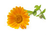 Calendula. Marigold flowers with leaves