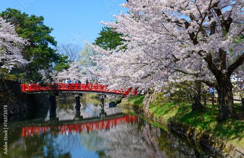 Cherry blossoms at the Hirosaki Castle Park in Hirosaki, Aomori, Canvas Print
