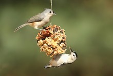 Birds On A Suet Feeder