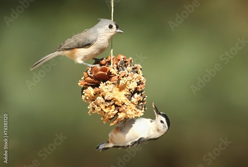 Fotografie, Tablou Birds On A Suet Feeder