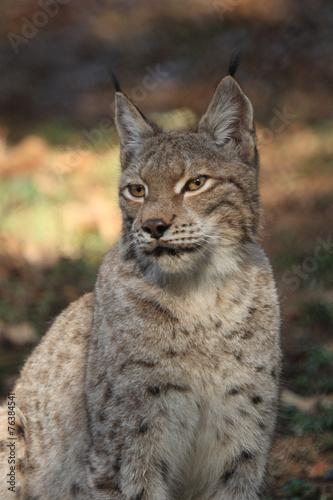 Foto auf Leinwand Luchs lince europea mammifero carnivoro predatore