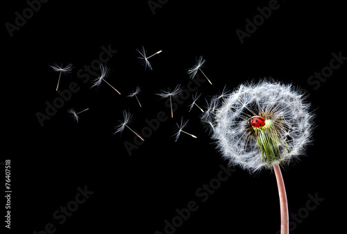 Dandelion Flying Ladybugs