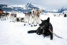 Sled Dogs Take A Rest Break Du...