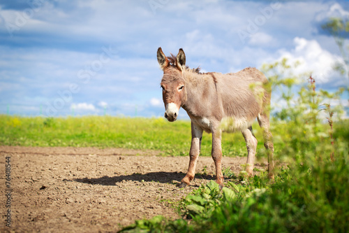 Poster Ezel Grey donkey