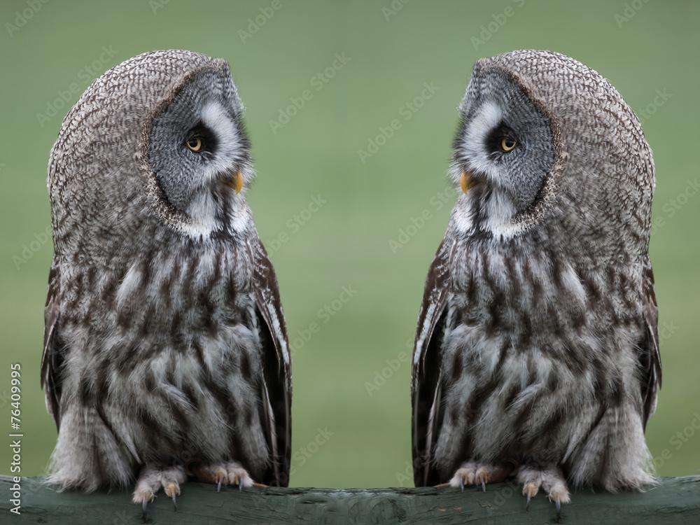 Fototapety, obrazy: Great grey gray owls