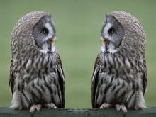 Great Grey Gray Owls