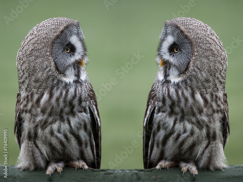 Great grey gray owls Wallpaper Mural