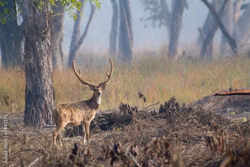 Poster Hert Spotted deer male in Bardia, Nepal