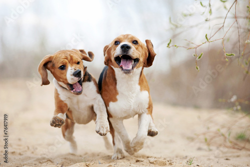 Fotografia Two funny beagle dogs running