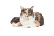 Calico Domestic Longhair Cat Laying