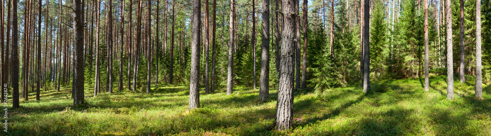 Fototapety, obrazy: Summer forest panorama