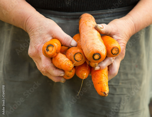 Photo  carrots pulled from the vegetable garden in old woman hands