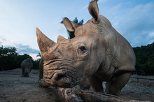 Two White Rhinoceros Are Stand...