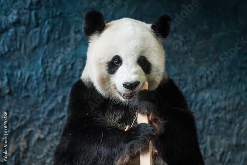 Aluminium Prints Panda Hungry giant panda eating bamboo