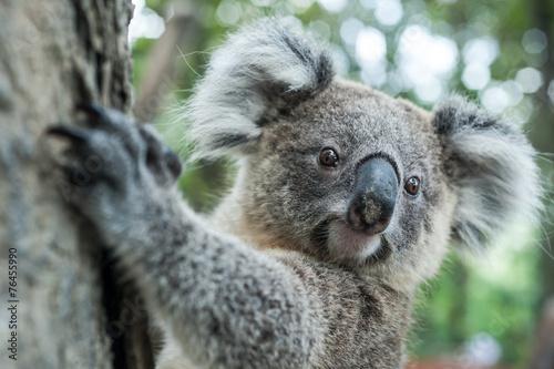 Foto op Plexiglas Koala australian koala sit on tree, Sydney, NSW, australia. exotic ico