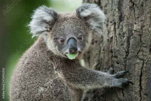 australian koala sit on tree, Sydney, NSW, australia. exotic ico