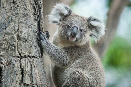 Montage in der Fensternische Koala australian koala sit on tree, Sydney, NSW, australia. exotic ico