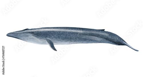 Fotografie, Obraz  Blue whale