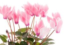 Beautiful Pink Cyclamen Flower