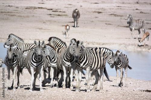Zebras in der Etosha Salzpfanne - Namibia