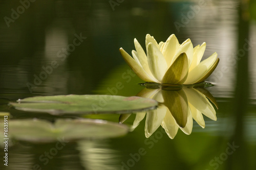 zolty-kwiat-lotosu-odbijajacy-sie-w-wodzie