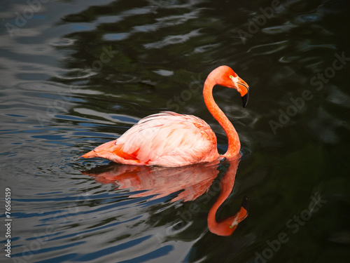 Foto op Aluminium Flamingo Pink flamingo swimming