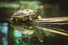 Turtle Sitting On Branch Refle...