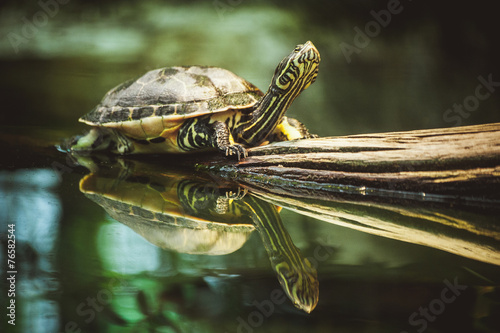 Photo sur Toile Tortue turtle sitting on branch reflection in water