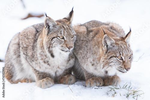 Foto auf Leinwand Luchs two watchful lynx