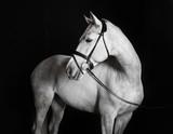 Biały koń holsztyński na czarnym tle