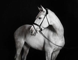 Fototapeta Holsteiner Pferd weiß vor schwarzem Hintergrund