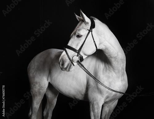 Valokuva  Holsteiner Pferd weiß vor schwarzem Hintergrund