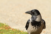 Hooded Crow On A Park Alley