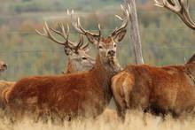 Red Deers Herd