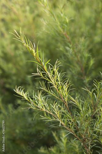 Poster Oceanië Tea tree sprig