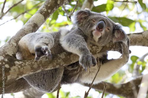 Staande foto Koala Koala relaxing in a tree, Australia