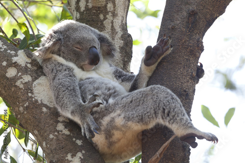 Foto op Canvas Koala Koala relaxing in a tree, Australia