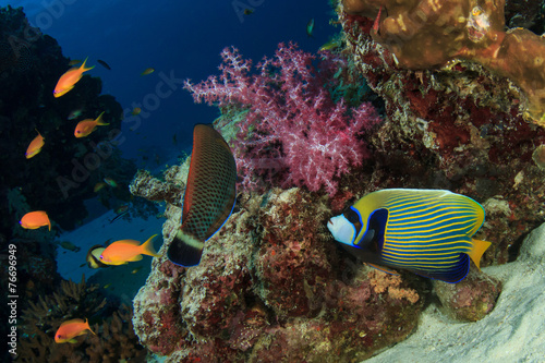 Poster Coral reefs Emperor Angelfish on coral reef