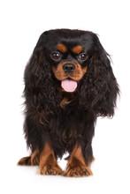 Black And Tan Cavalier King Charles Spaniel Dog Standing