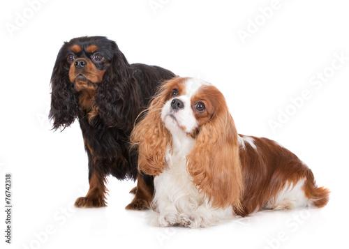 two cavalier king charles spaniel dogs on white Wallpaper Mural