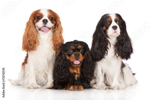 Fotografering three cavalier king charles spaniel dogs