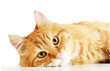 Red cat lying, isolated on white background