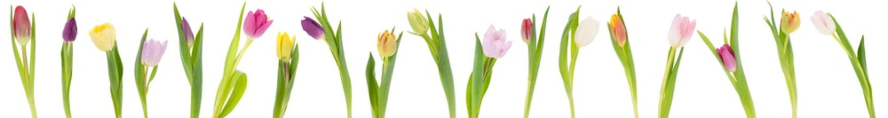 Fototapeta Banner of tulips